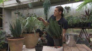 2 variedades de Dianella, una planta de jardín