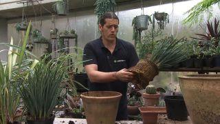 variedades de Dianella, una planta de jardín