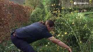 Kerria japónica, arbusto de floración amarilla a finales de invierno