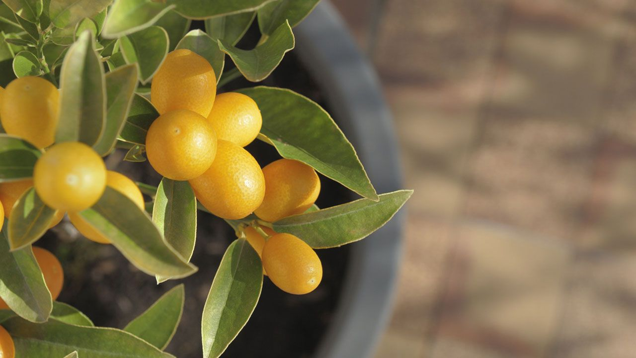 Naranjos enanos: características y cuidados