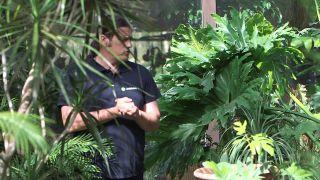 Nuevas variedades de filodendros o Philodendron