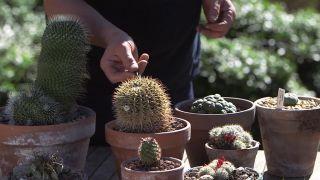 Cosecha de semillas de cactus