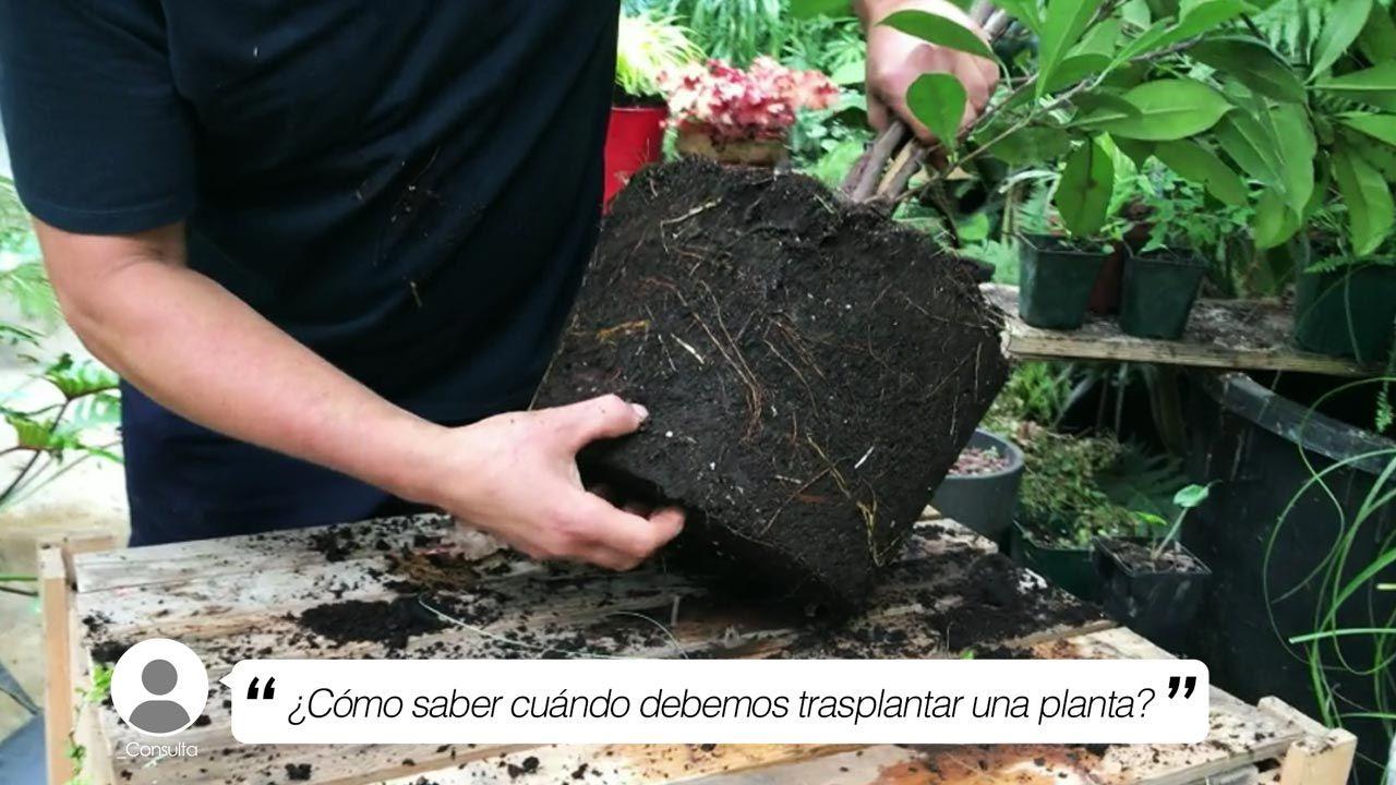 ¿Cómo saber cuándo debemos trasplantar una planta?