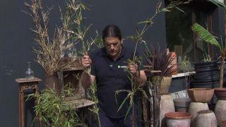 La floración del bambú