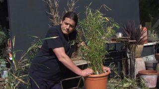 floración del bambú