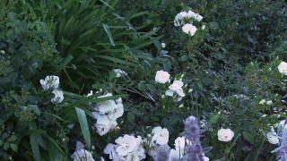 Stachys lanata o bizantina, planta grisácea muy rústica
