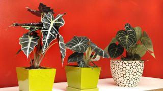 3 plantas pequeñas de hojas llamativas