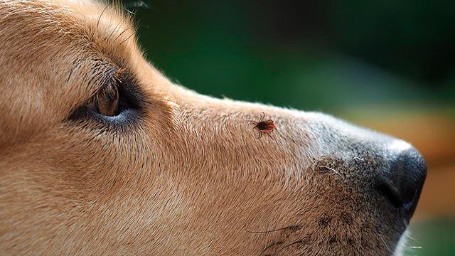 Garrapata posada sobre el hocico de un perro