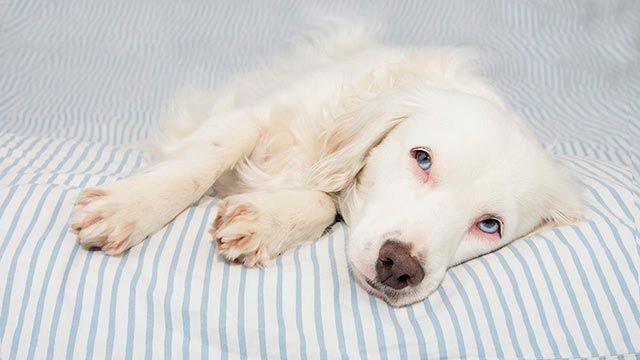 Perro enfermo a causa de los parásitos
