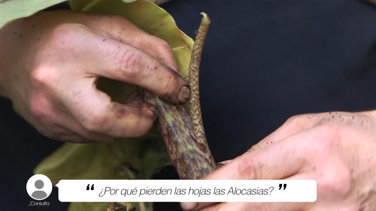 ¿Por qué pierden las hojas las Alocasias?