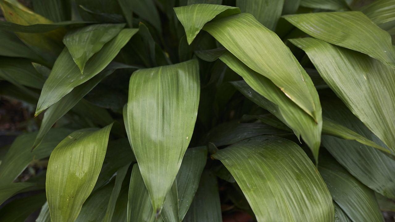 hojas de aspidistra