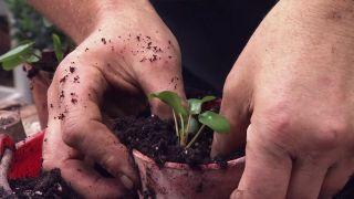 Cómo multiplicar la planta del dinero china o Pilea peperomioides