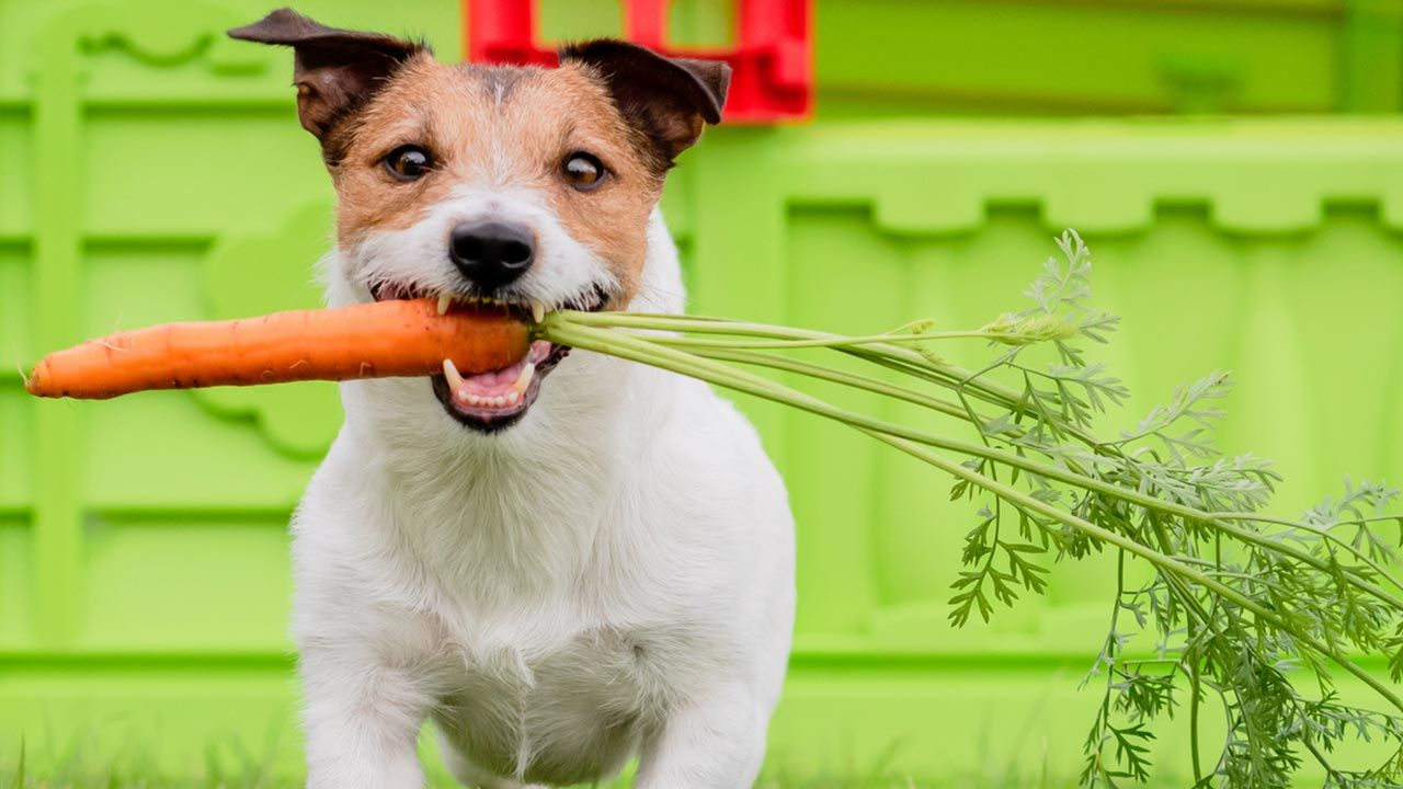 Comidas caseras sostenibles para perros