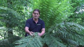 helecho arbóreo discksonia antárctica
