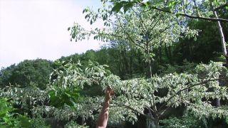 Características del Cornus controversa variegata