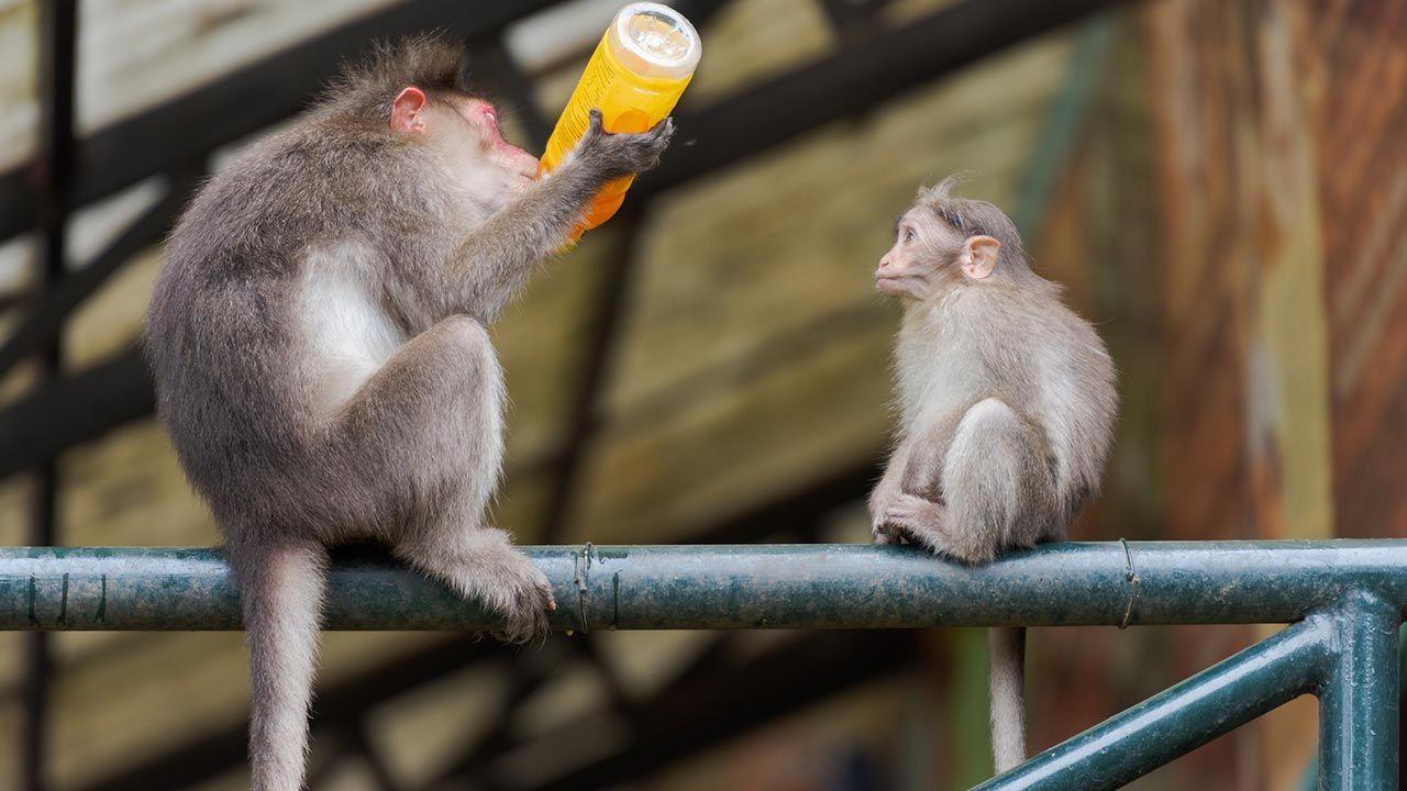 ¿Pueden ser los monos alcohólicos?