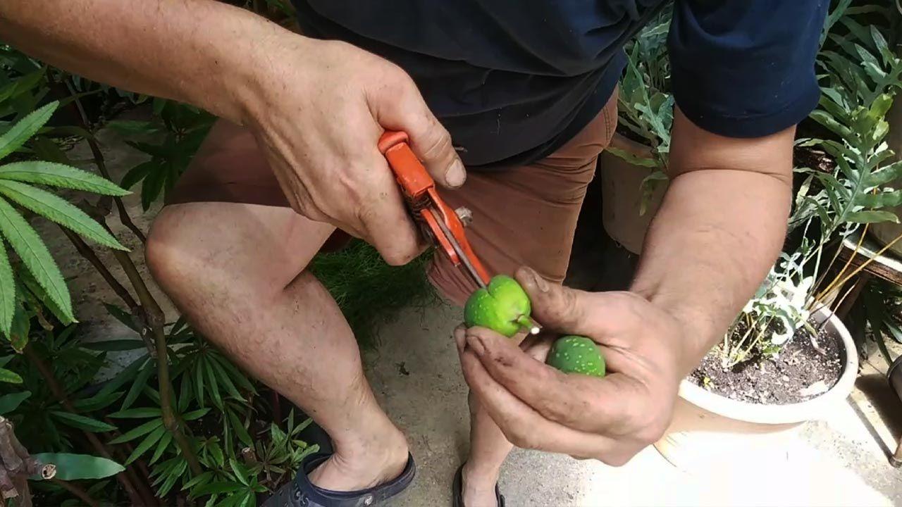 ¿Por qué no desarrolla hojas mi ficus robusta?
