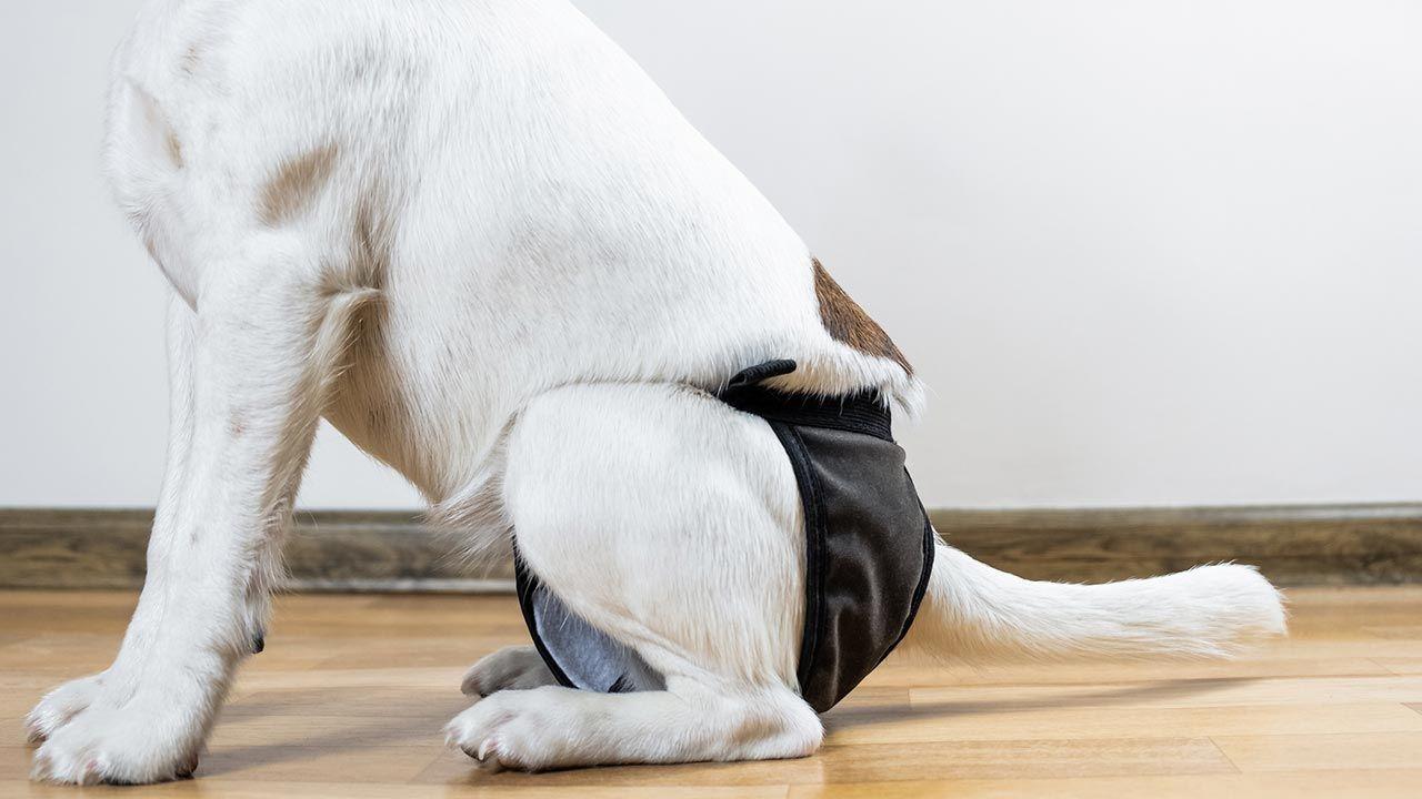 Cómo evitar las manchas de celo de nuestra perra