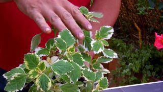 Plantas colgantes para verano