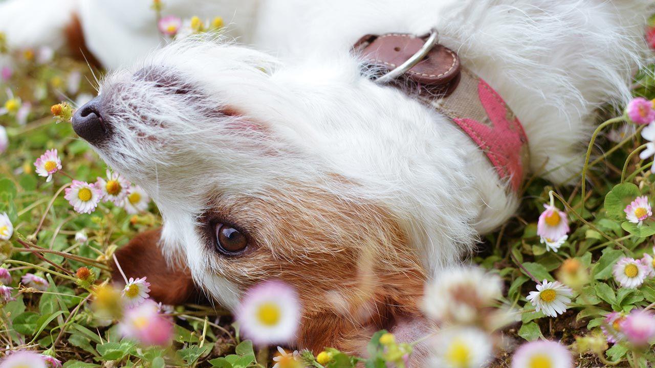 Cómo combatir los parásitos externos en nuestro perro