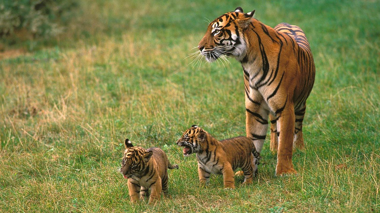 Los 10 aspectos más curiosos sobre el tigre