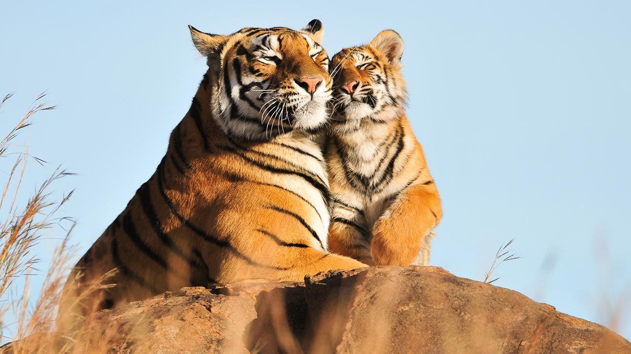 Los 10 aspectos más curiosos sobre el tigre - Hogarmania