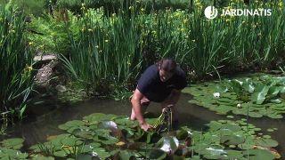 Cómo multiplicar nenúfares del estanque - Paso 2