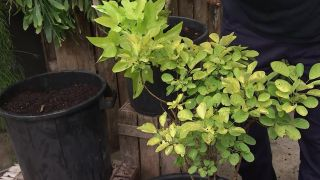 Brugmansia arborea: composición en color crema y amarillo