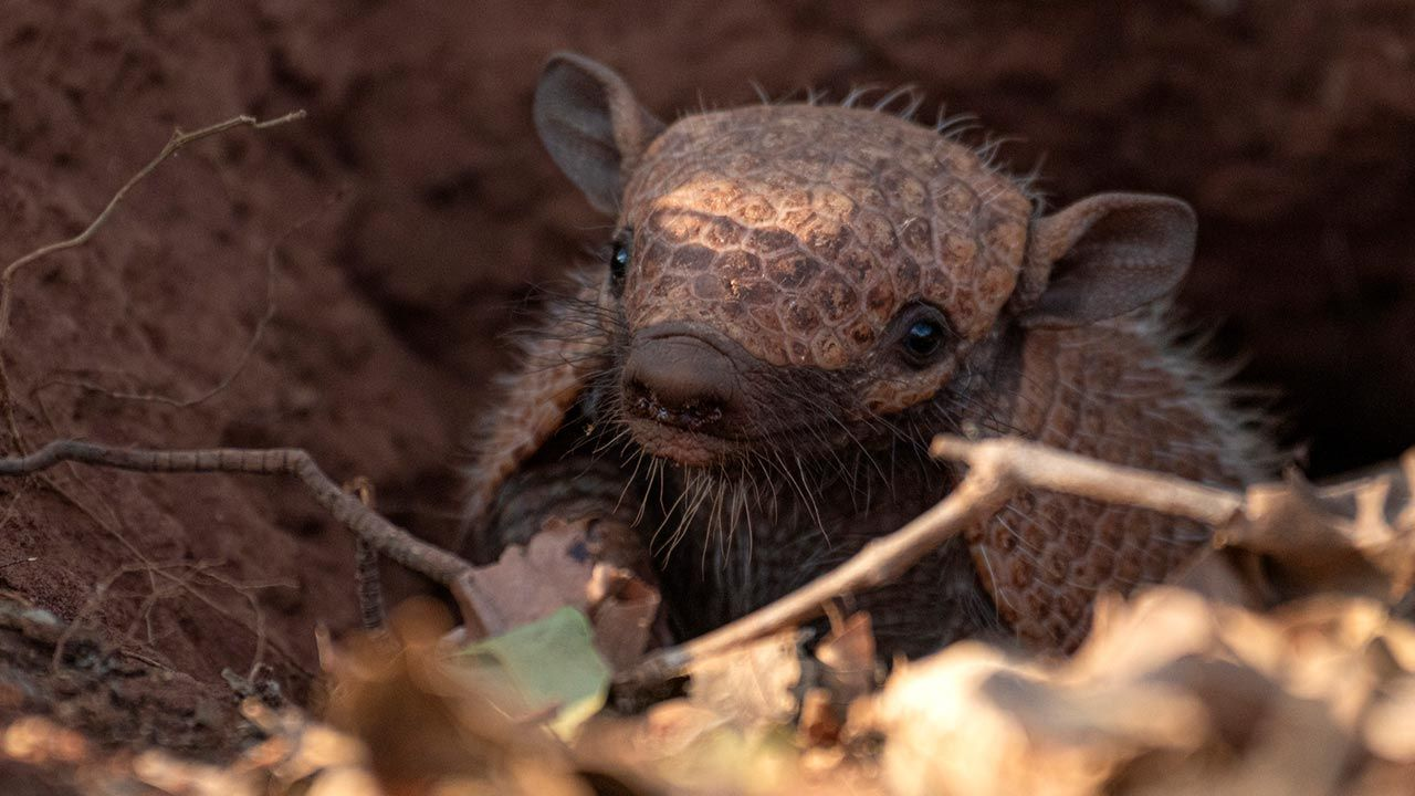 El armadillo, un mamífero con caparazón