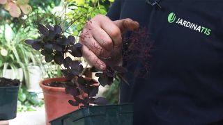 El árbol de las pelucas o Cotinus coggygria Golden lady