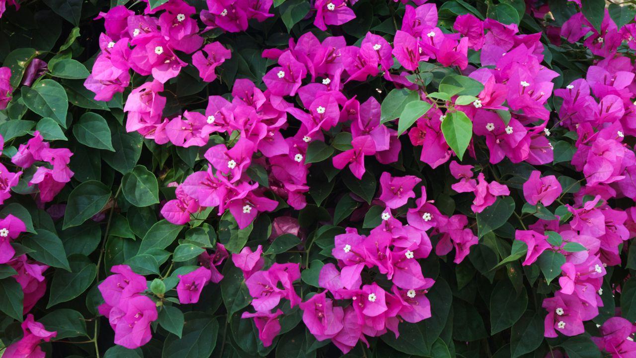 Buganvilla glabra o flor de papel