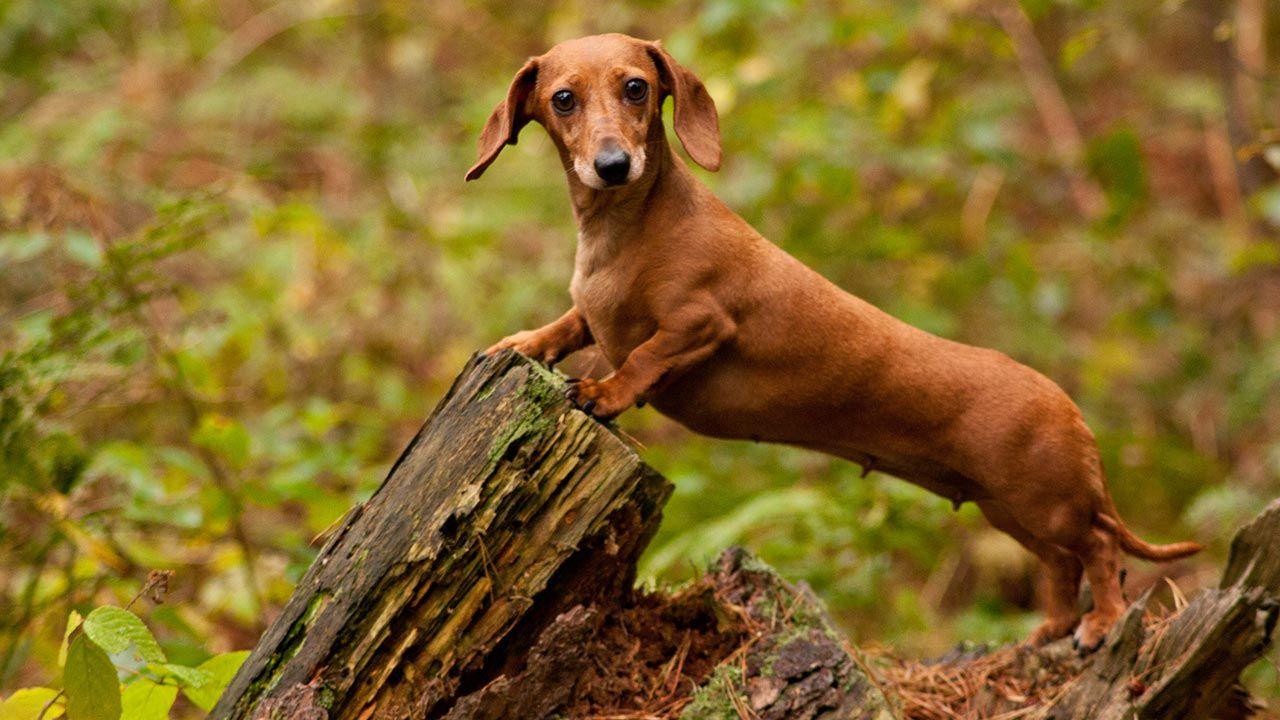 Los 10 perros alemanes más conocidos