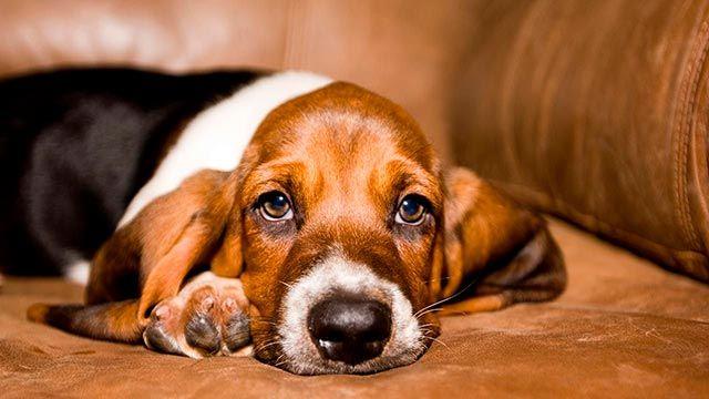 Qué 8 perros son propensos a tener linfoma