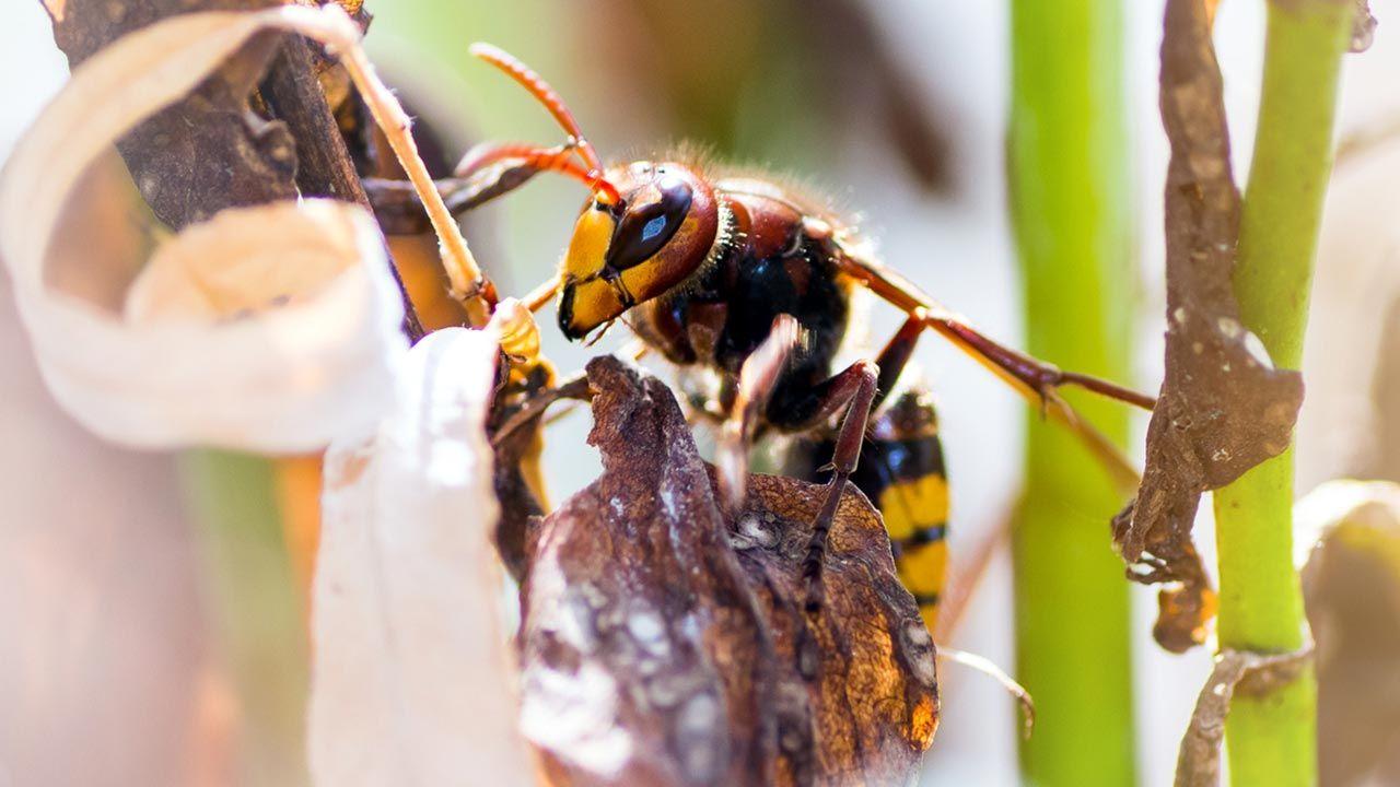La avispa asiática, una peligrosa especie invasora