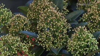 Plantación de Skimmia Japonica