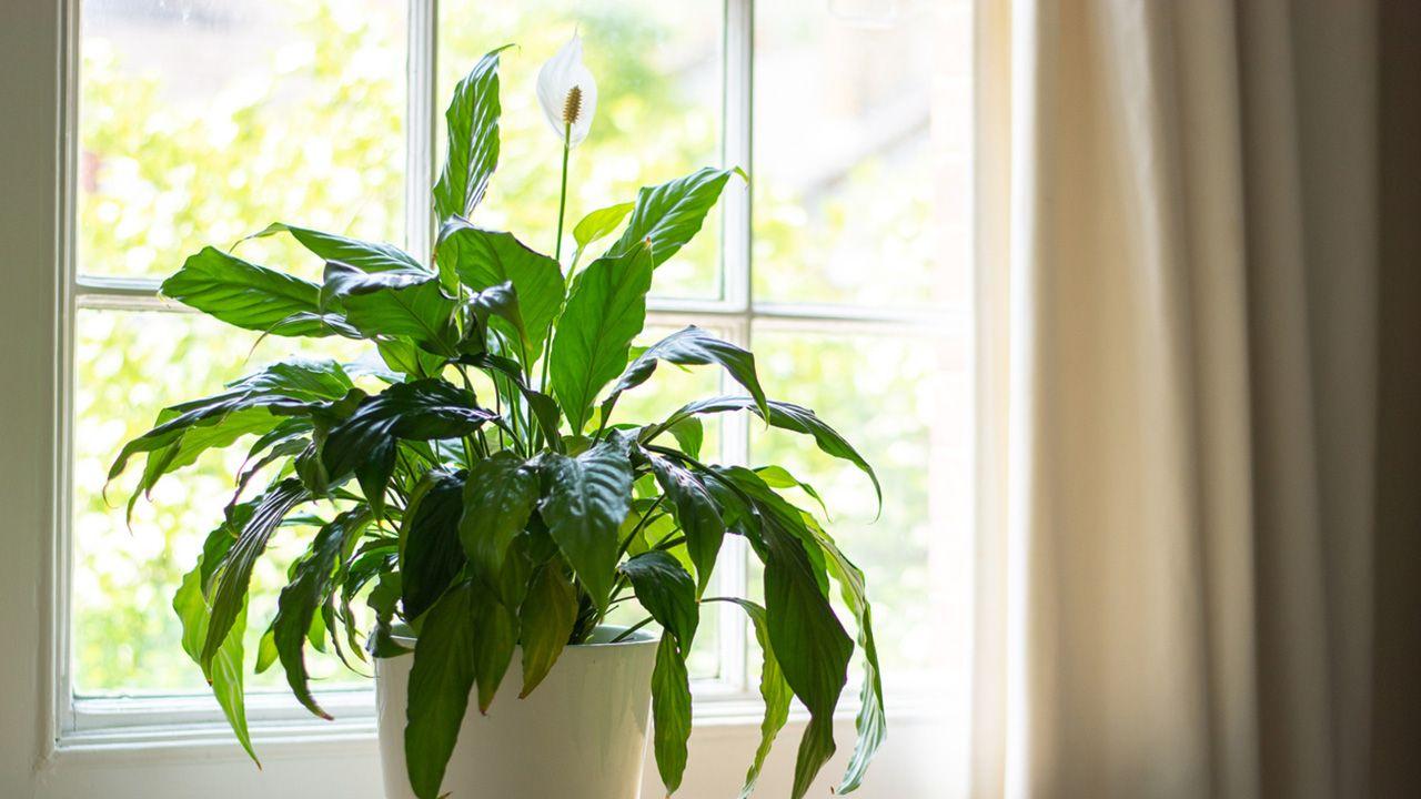 Espatifilo, mantenimiento plantas