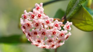 hoya-carnosa-flor-de-cera