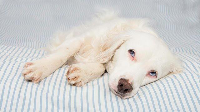 El linfoma en nuestras mascotas