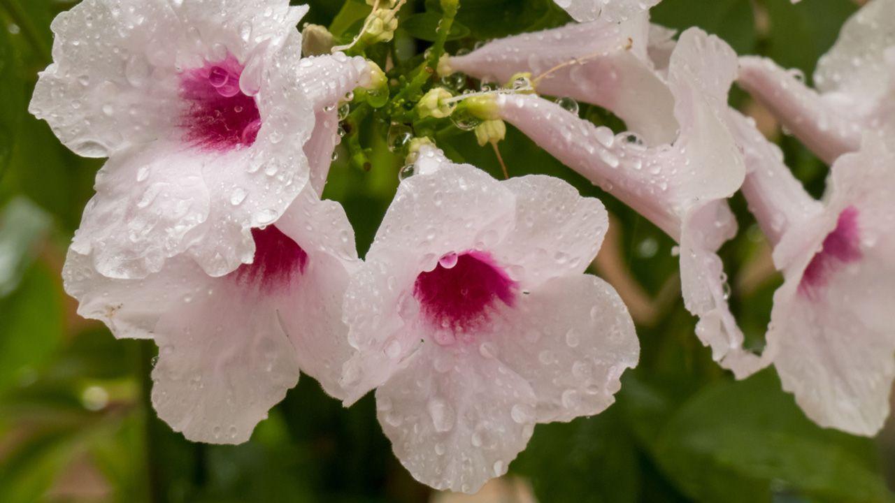 Características de la Bignonia blanca