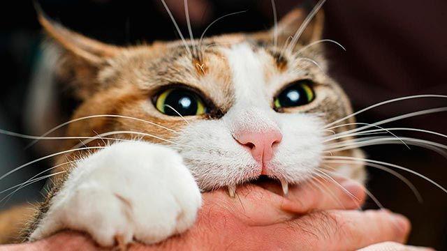 ¿Es posible que mi gato tenga la rabia?