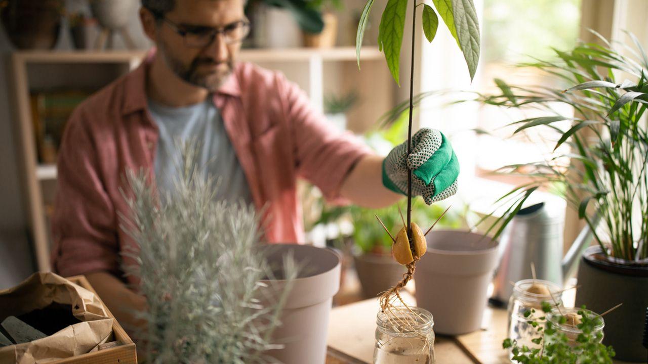 Cómo cultivar aguacates en casa
