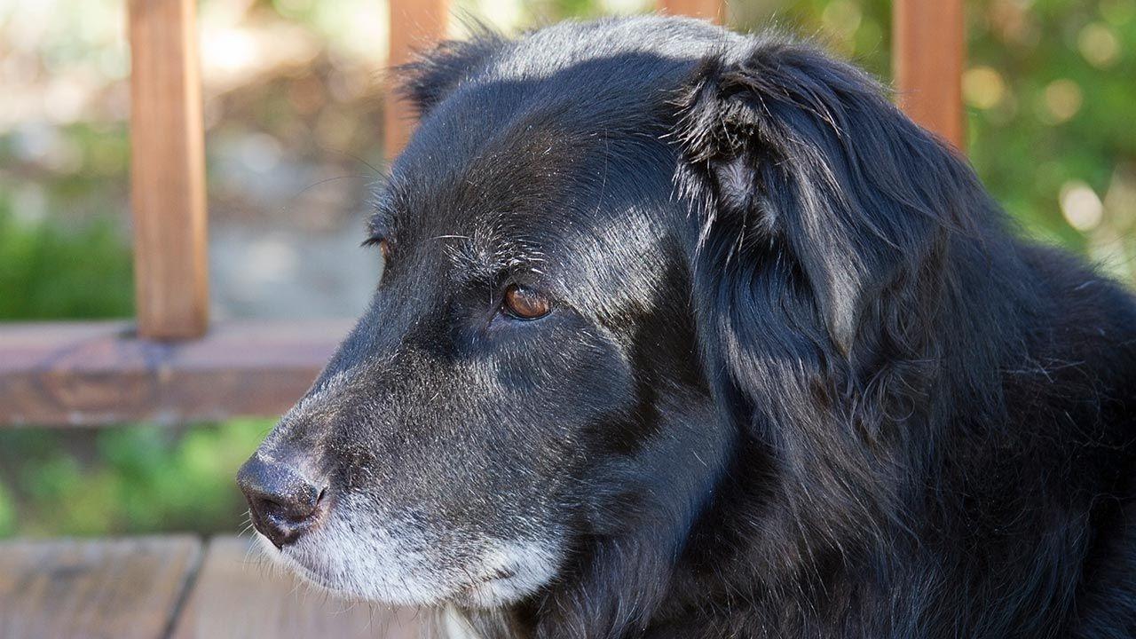 Síndrdome de Disfunción Cognitiva: el alzheimer de los perros