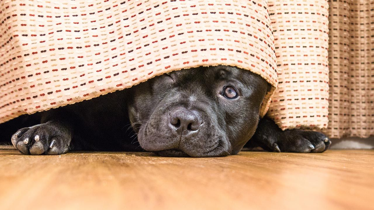 perro escondido por miedo (trastorno emocional)