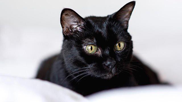 Gato negro observando