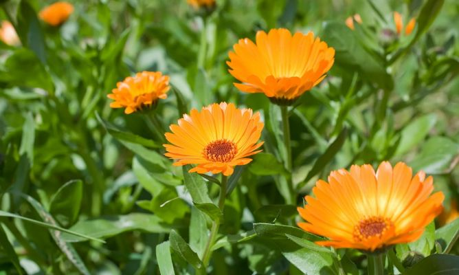 Caléndula: flores y hojas