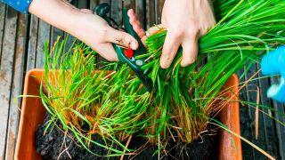Planta que repele insectos: citronela