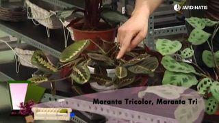 Calatheas y Marantas: variedades y plantación en contenedor