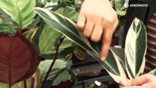 Plantación de Calathea y Marantas en contenedor