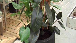 Ficus elástica, planta para salón amplio y alto