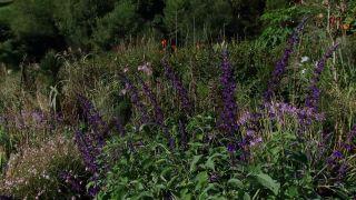 Salvia guaranítica o bonariensis